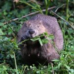 Build Back Better – Wildlife Trusts are gathering public support for an England beaver strategy